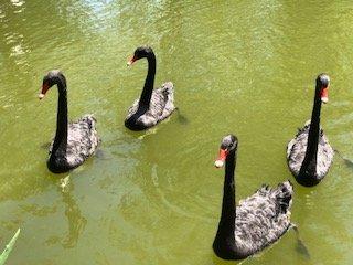 Coaching Mentoring Ducks in a Row