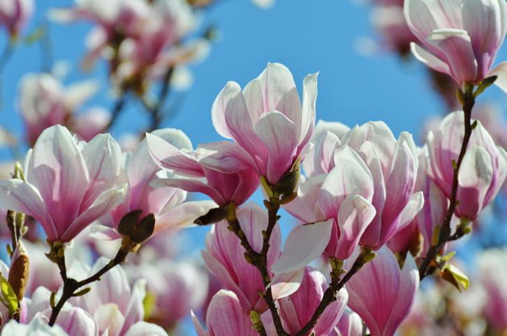 magnolia always consult
